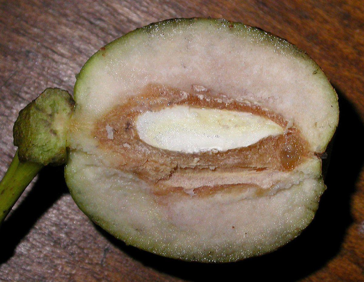 Fit to window naked image image of cornaceae davidia involucrata