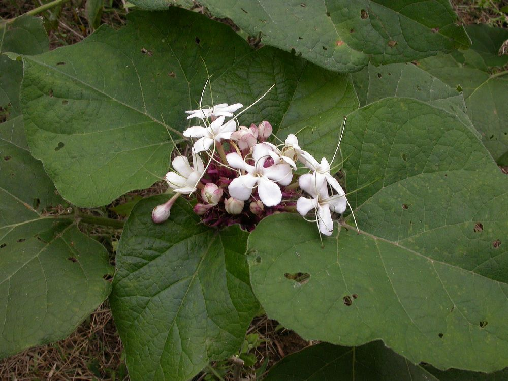 Lamiaceae Clerodendrum chinese