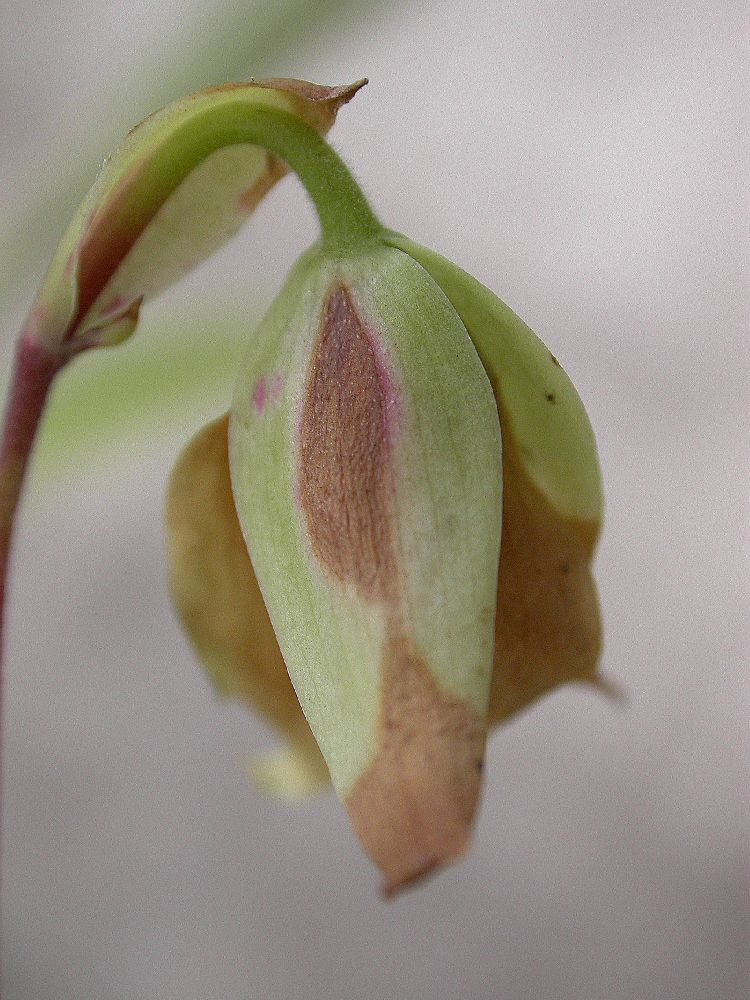 Sarraceniaceae Heliamphora minor