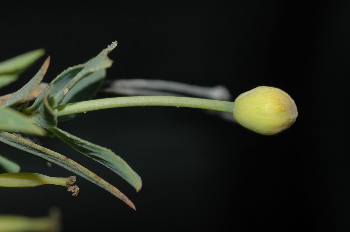 Papaveraceae Dendromecon rigida