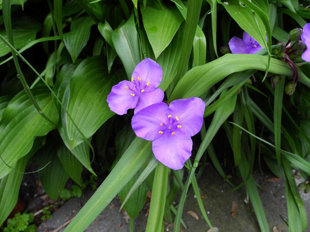Tradescantia virginiana (Commelinaceae) image 39230 at ...