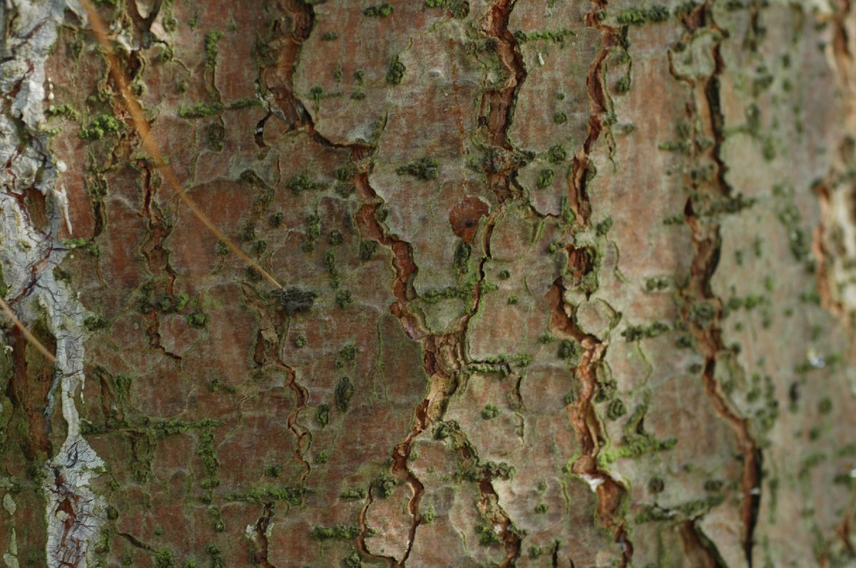 Pinus wallichiana (Pinaceae) image 13903 at ...