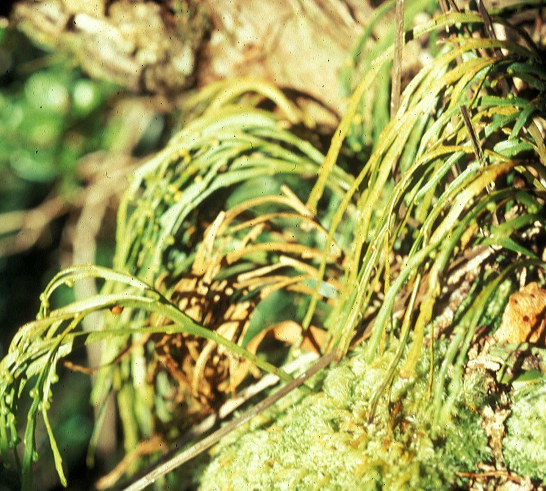 Psilotum complanatum (Psilotaceae) image 5889 at ...