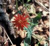 image of Silene californica