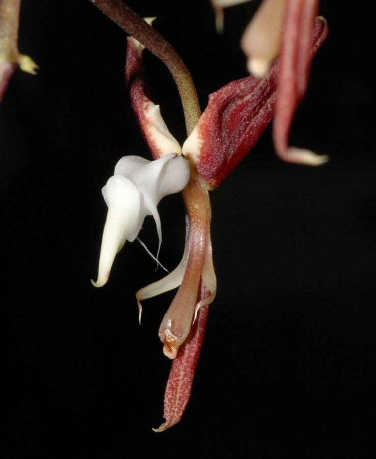 Orchidaceae Gongora superflua