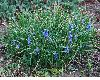 image of Muscari
