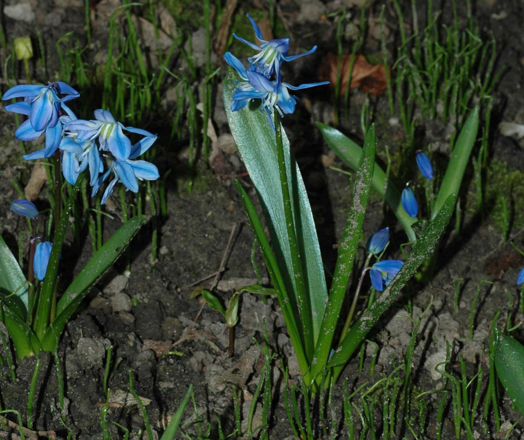 Hyacinthaceae Scilla siberica