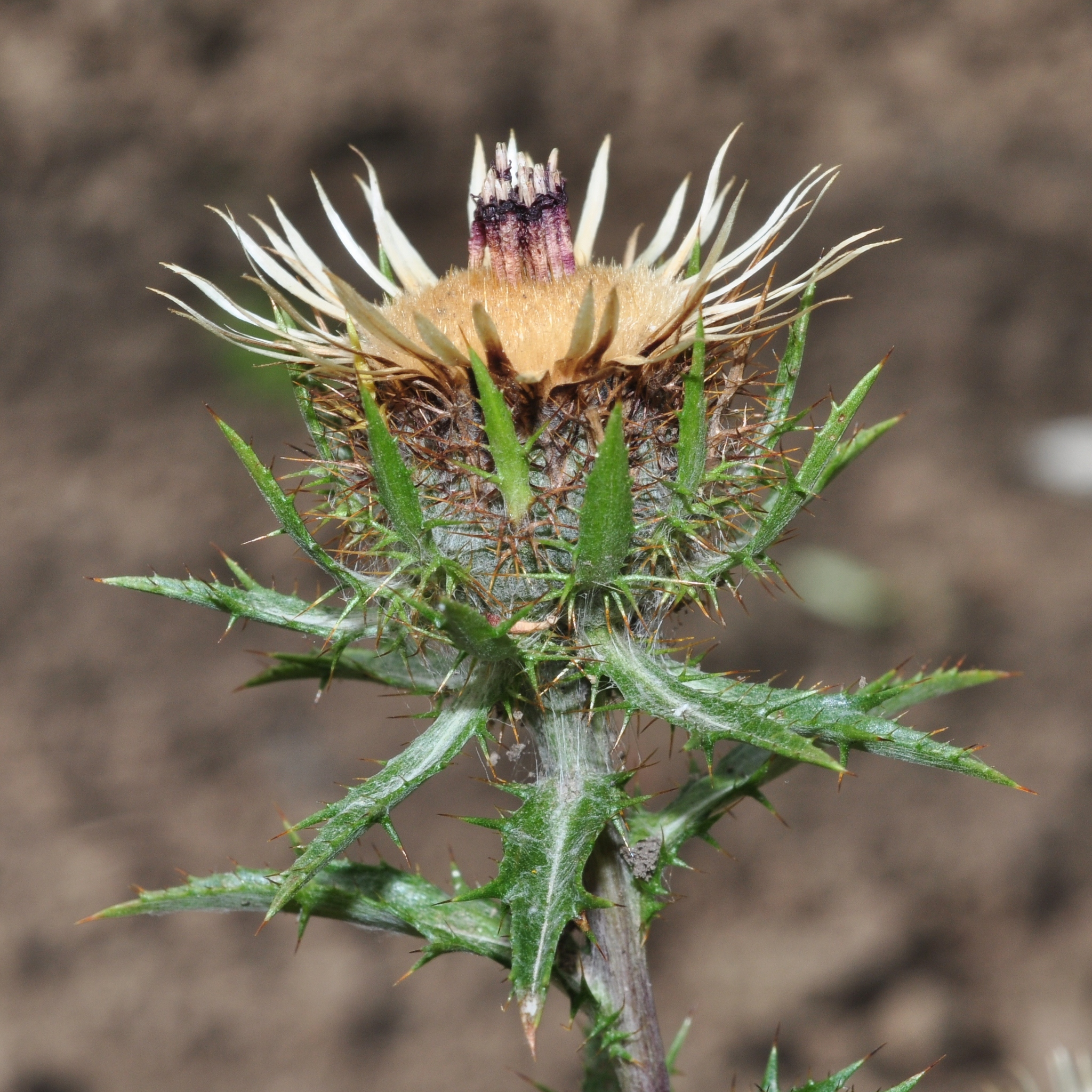 Asteraceae Carlina vulgaris