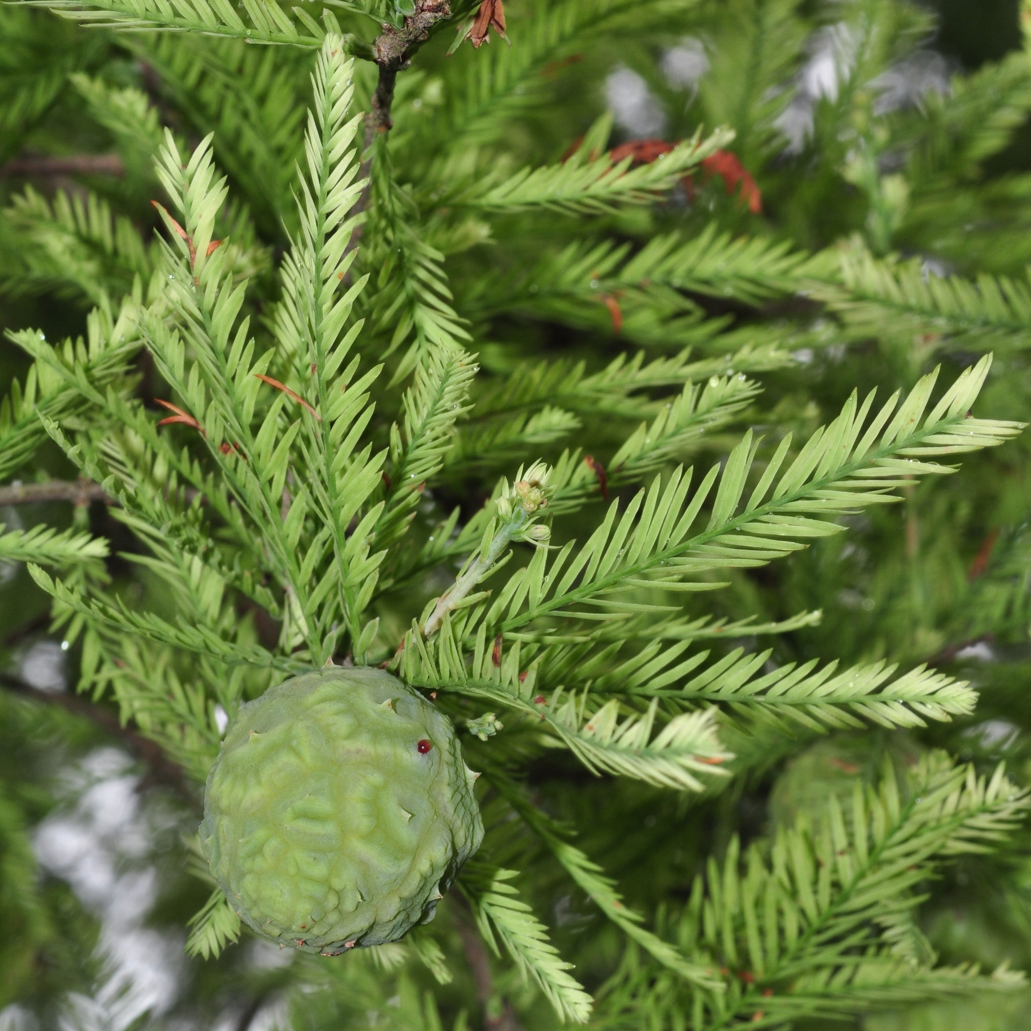 Garden Taxodium Distichum Cupressaceae Image 42625 At