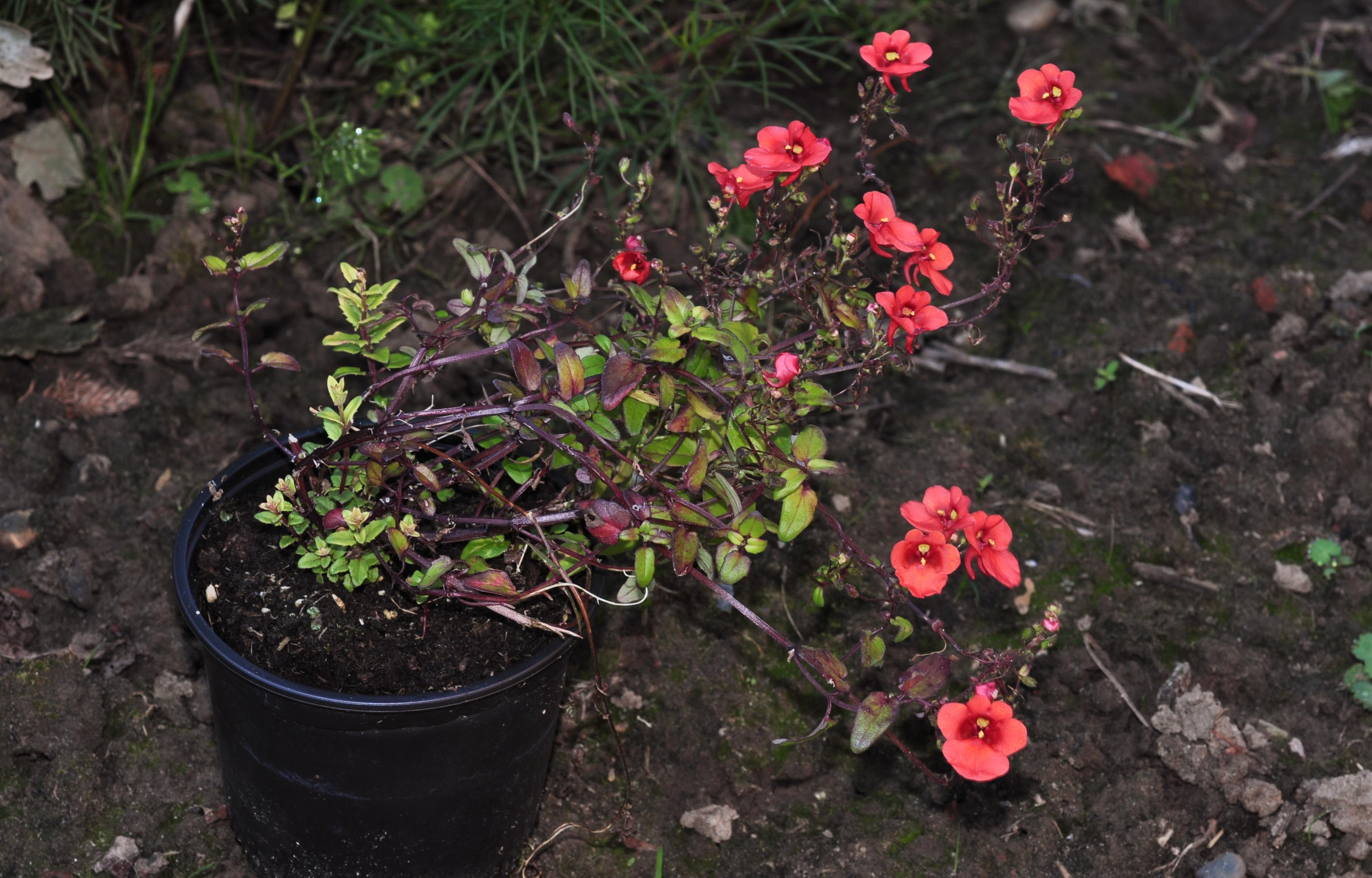 Диасция цветок фото посадка и уход