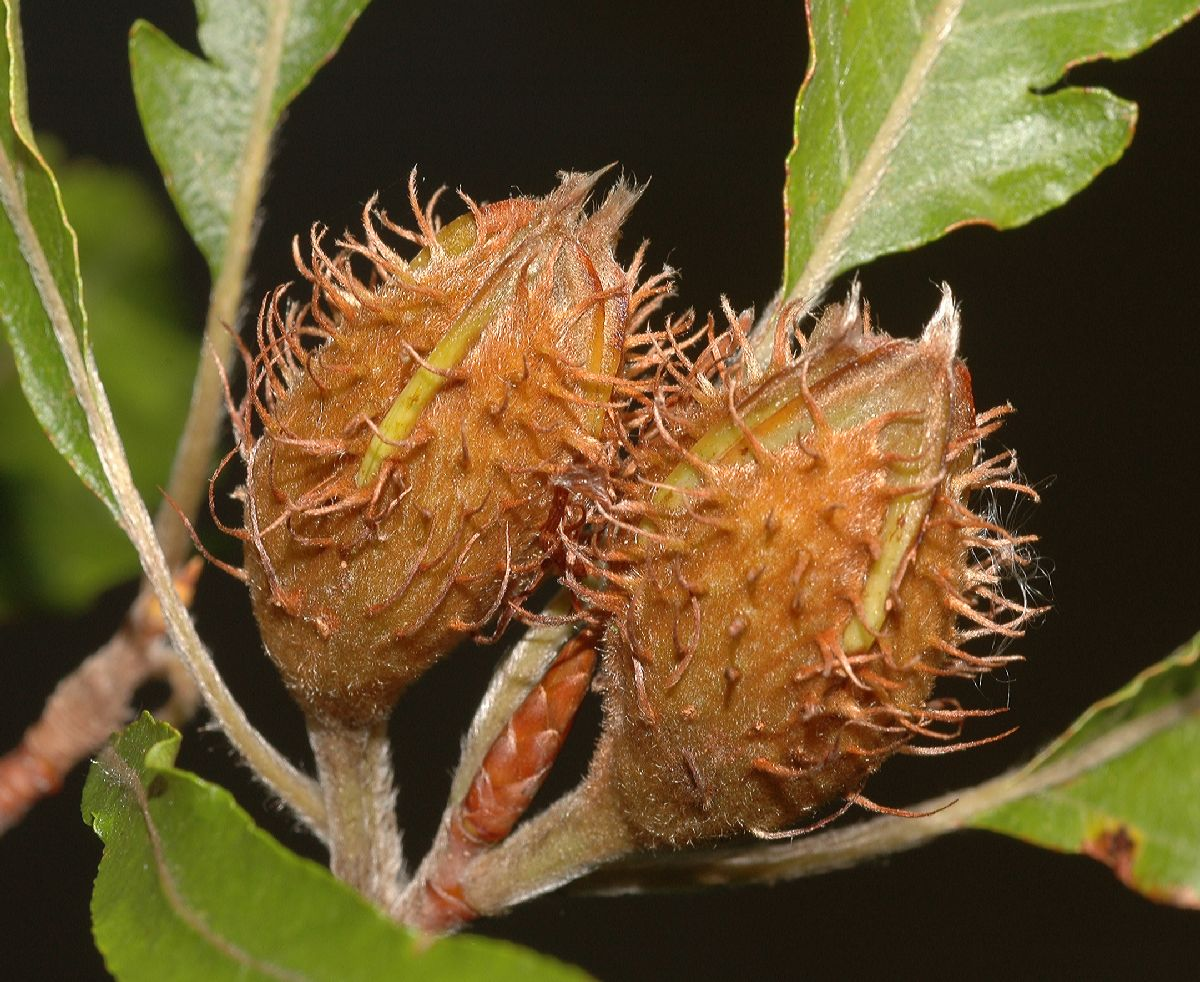 Pictures of beech nuts Tree Meaning and Tree Pictures for Symbolic Trees