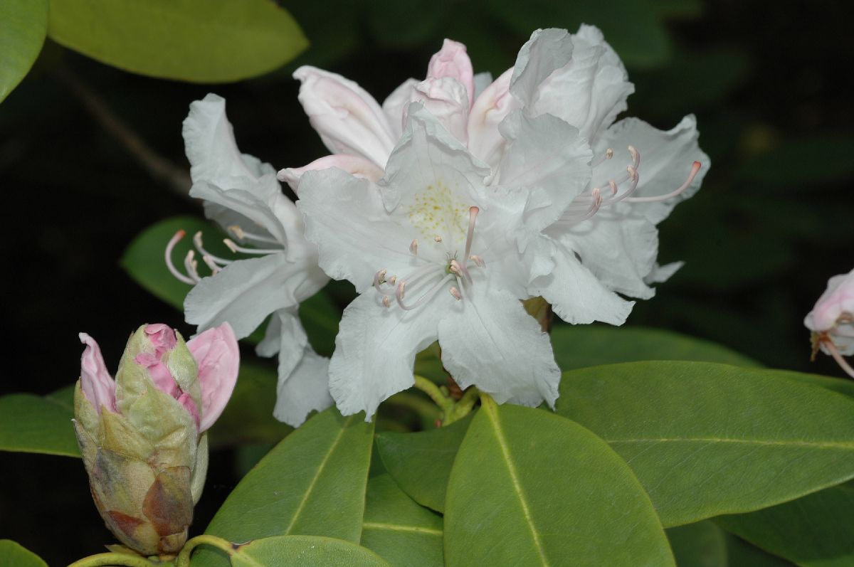 Ericaceae Rhododendron