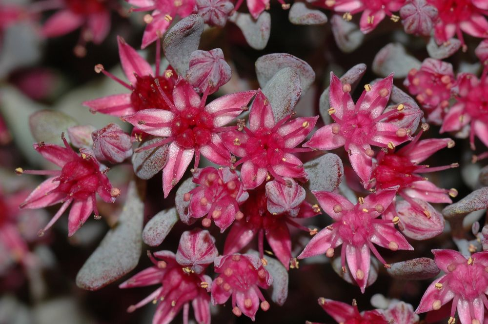 Crassulaceae Sedum cauticola