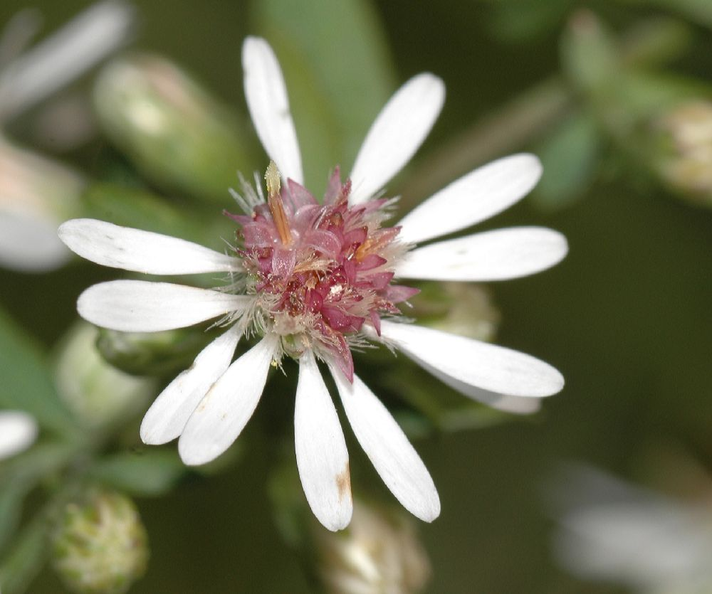 Asteraceae Aster lateriflorus