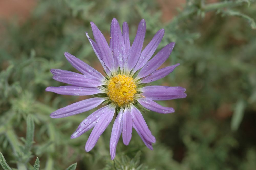 Asteraceae Machaeranthera