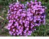image of Verbena