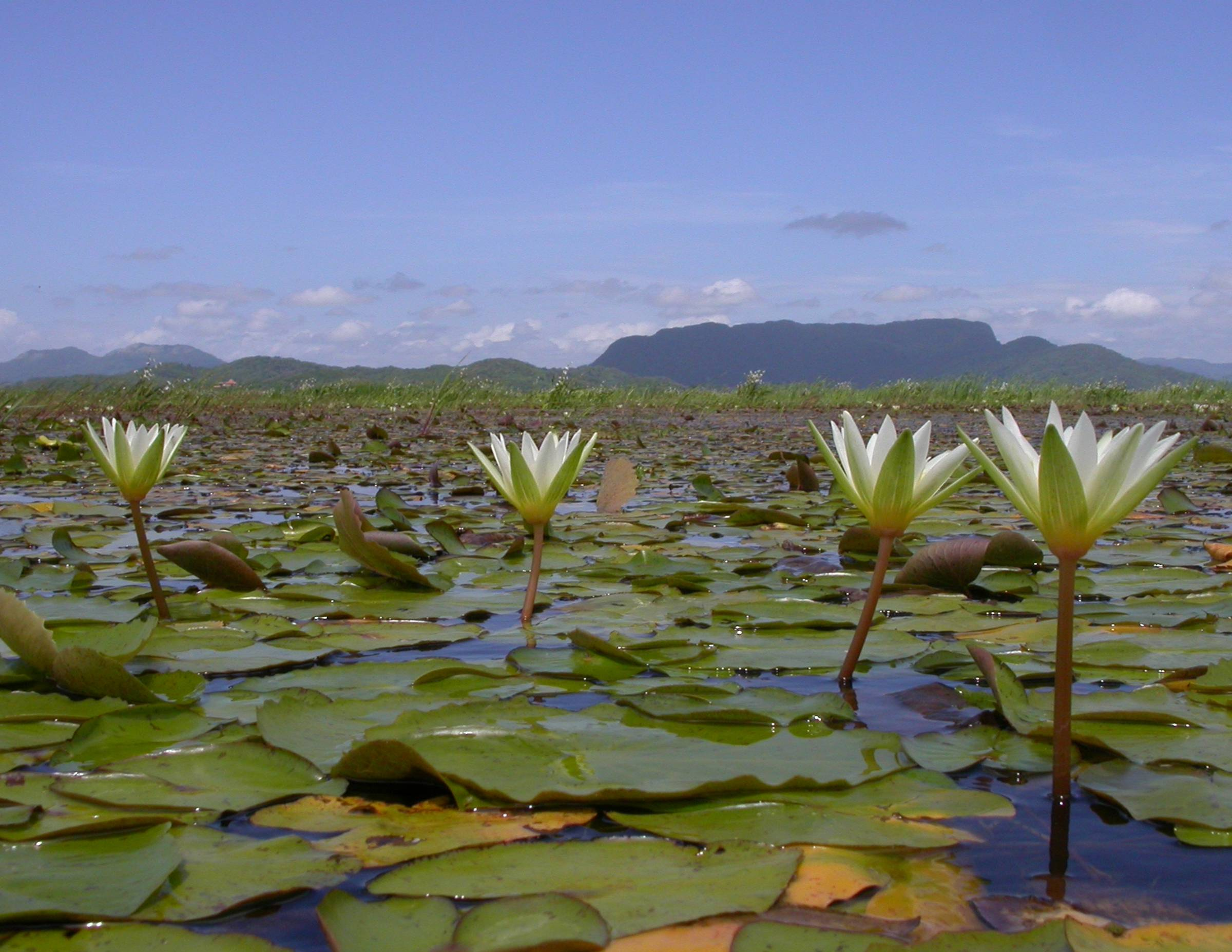 Nymphaeaceae Nymphaea
