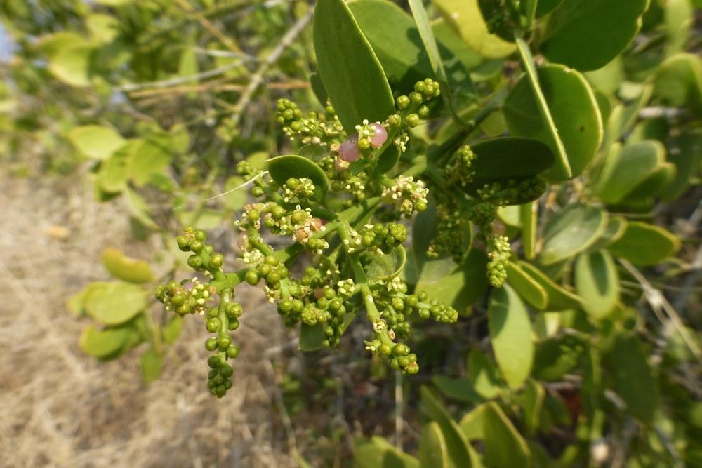 Salvadora Persica Tree Salvadora Persica