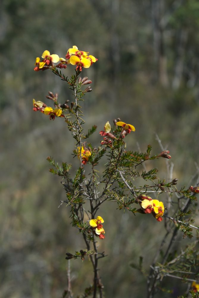 Fabaceae Dillwynia phylicoides