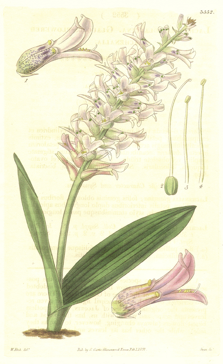 Hyacinthaceae Lachenalia orchioides