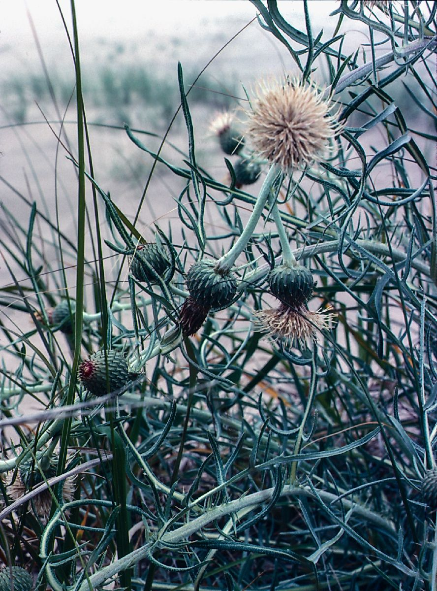 Asteraceae Cirsium pitcheri