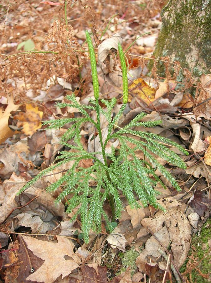 Lycopodiaceae Dendrolycopodium obscurum