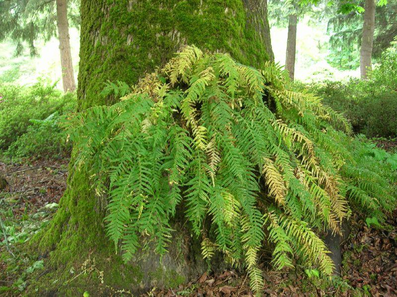 Polypodium glycyrrhiza (Polypodiaceae) image 22521 at ...