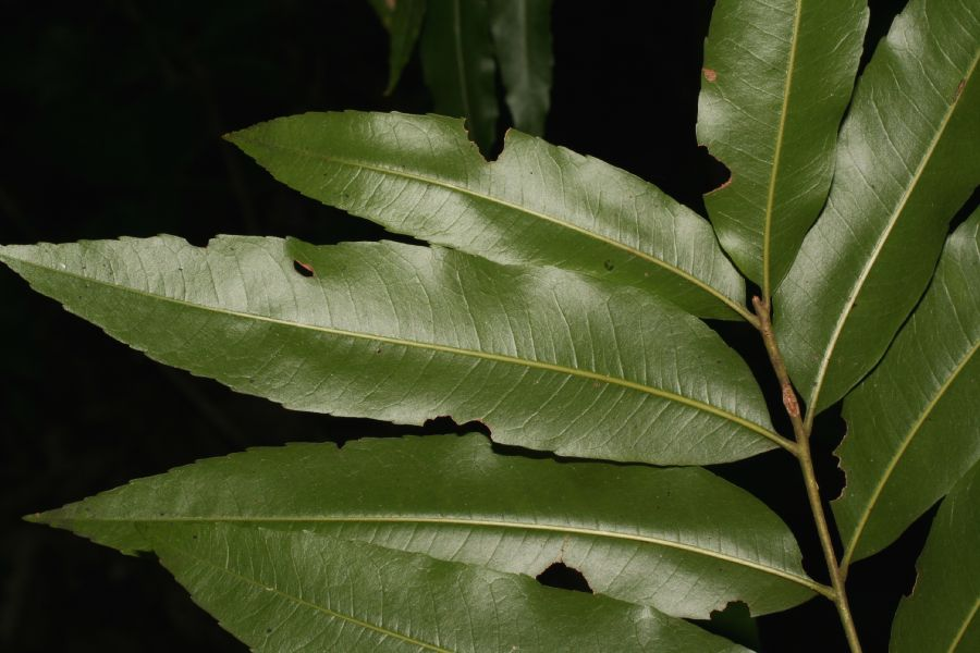 Sapindaceae Thouinidium decandrum