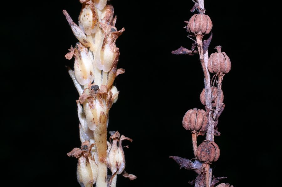 Ericaceae Monotropa hypopithys
