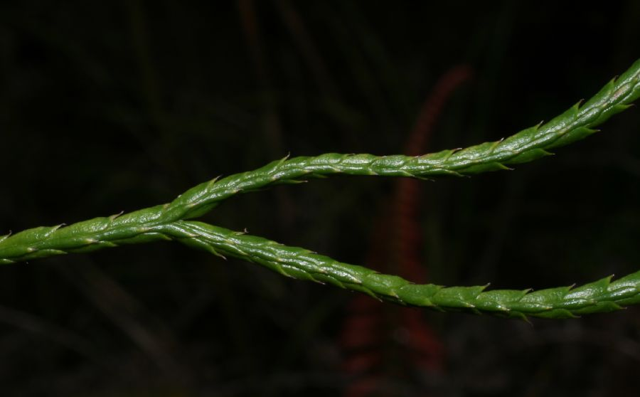 Lycopodiaceae Diphasiastrum thyoides