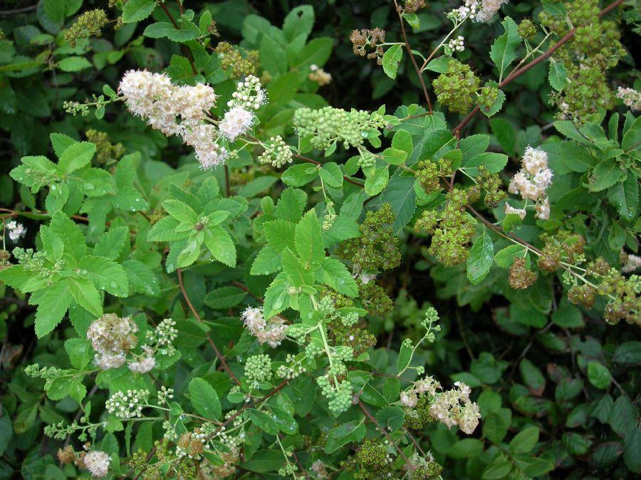 Spiraea tomentosa (Rosaceae) image 24549 at ...