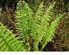 image of Dryopteris wallichiana