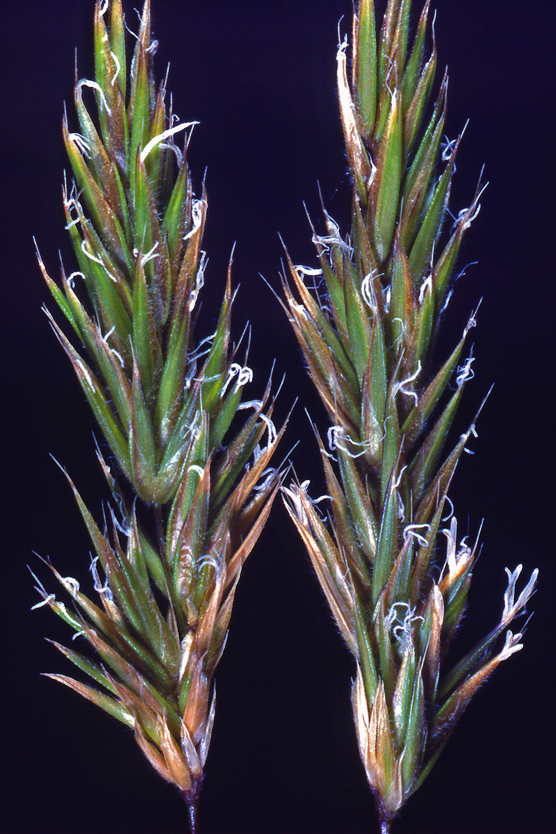 Poaceae Anthoxanthum odoratum