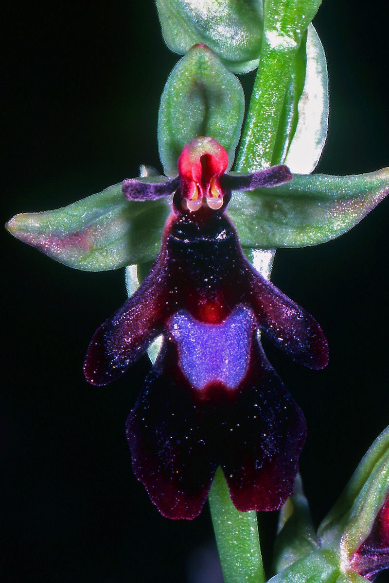 Orchidaceae Ophrys insectifera