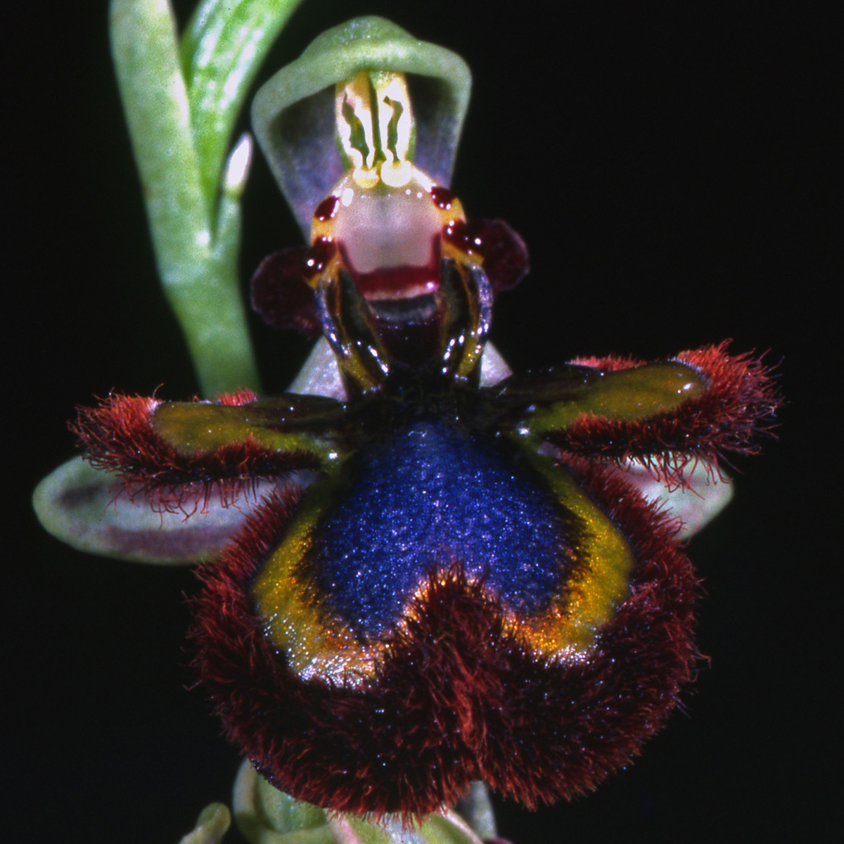Orchidaceae Ophrys speculum