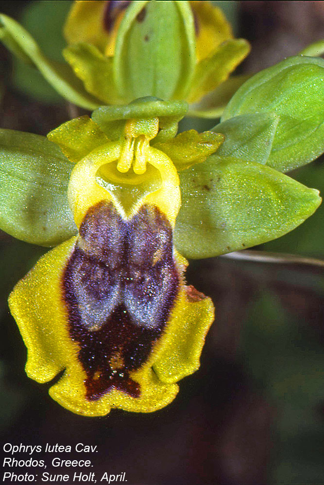 Orchidaceae Ophrys lutea