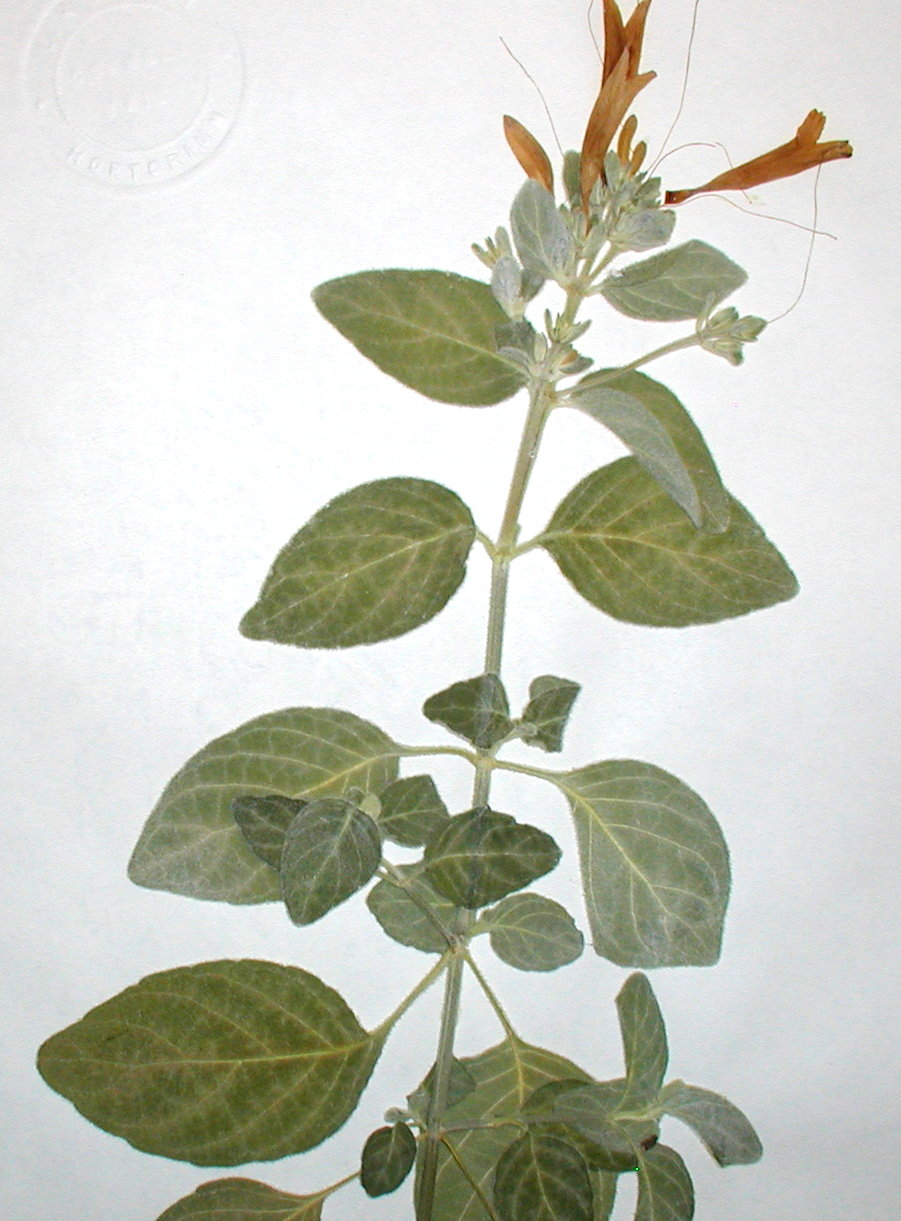 Acanthaceae Dicliptera suberecta