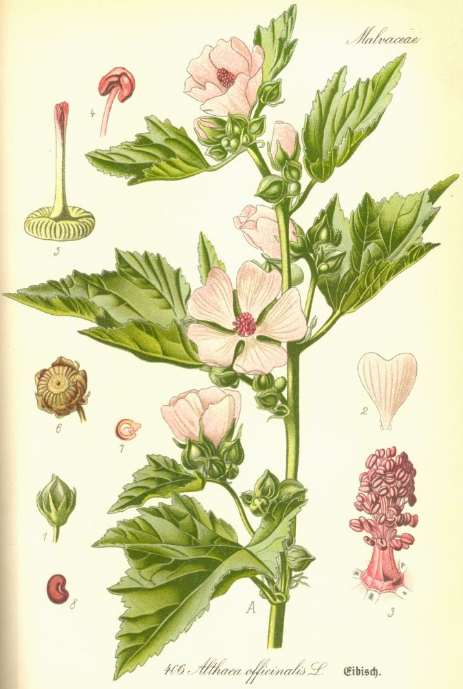 Malvaceae Althaea officinalis