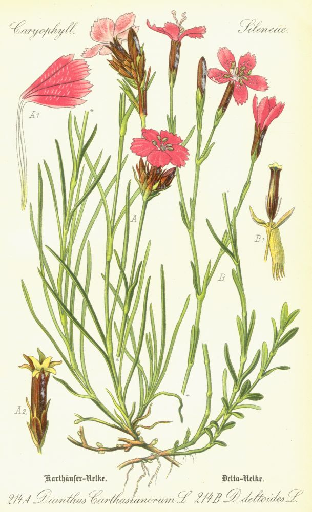 Caryophyllaceae Dianthus deltoides