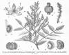 image of Decatropis coulteri