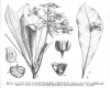 image of Erythrochiton brasiliensis